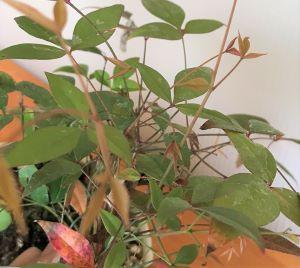 トクサ・南天の寄せ植え苔玉