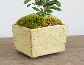 ピラカンサの盆栽
