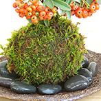 ピラカンサの苔玉