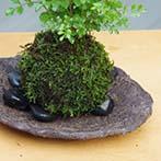 シマトネリコ苔玉