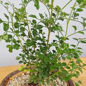 シマトネリコの鉢植え