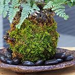 シノブの苔玉