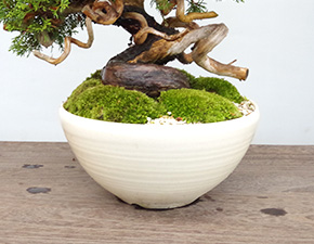 シンパクの盆栽
