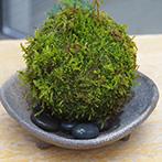 ソフォラミクロフィラの苔玉