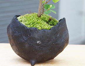 睡蓮木(スイレンボク)の盆栽