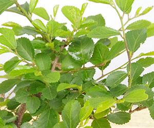 睡蓮木(スイレンボク)の苔玉