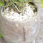 シュガーバインの盆栽