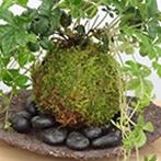 ヘンリーヅタの苔玉