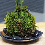 テーブルヤシの苔玉