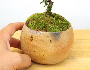天皇梅(イソザンショウ)の盆栽