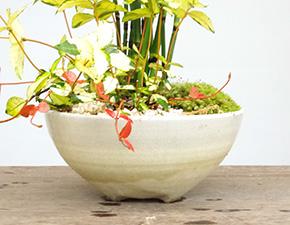 トクサの盆栽