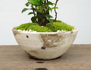 トクサ・ヤブコウジ盆栽