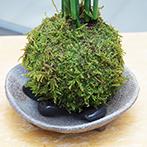 トクサ苔玉