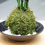トクサの苔玉