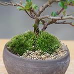 長寿梅の盆栽