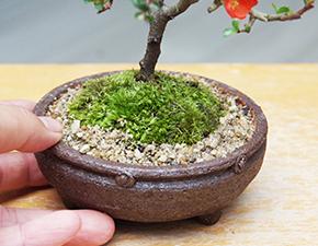 チョウジュバイの盆栽