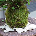 ワイアープランツの苔玉