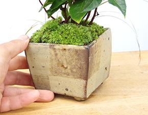 ヤブコウジの盆栽