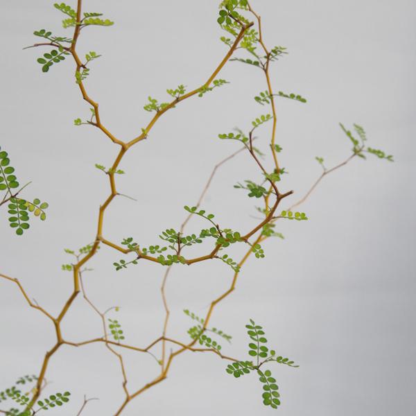 ソフォラの盆栽