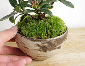 沈丁花の盆栽